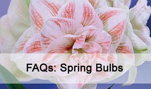 FAQs: Spring Bulbs