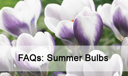 FAQs: Summer Bulbs