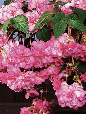 Pendular Begonias