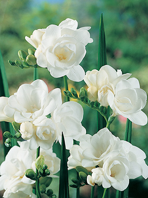 Double Freesias
