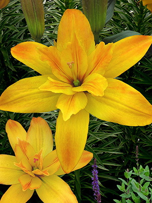 Bulk Double Asiatic Lilies