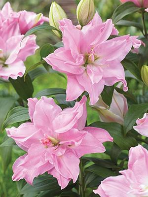 Bulk Roselilies