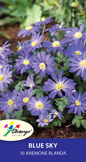 Anemone Blanda Blue Sky, pack of 10