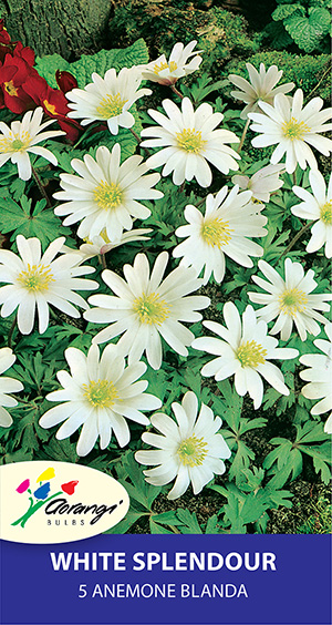 Anemone Blanda White Splendour, pack of 5