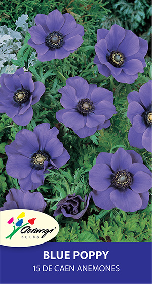 Anemone Blue Poppy, pack of 15, size 4/5