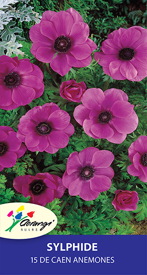 Anemone Sylphide, pack of 15, size 4/5