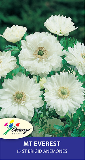 Anemone Mt Everest, pack of 15, size 4/5