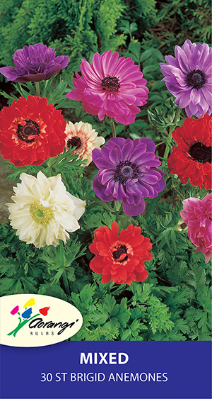 Anemone St Brigid Mix, pack of 30, size 3/4