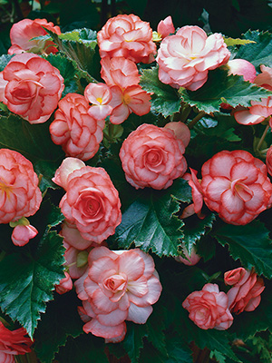Begonia On Top Fandango