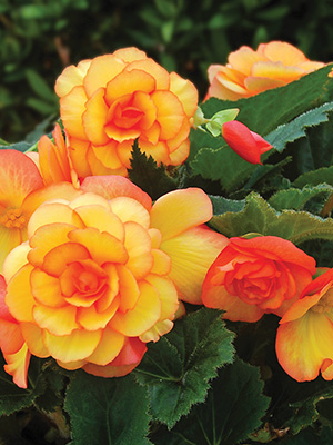 Begonia On Top Sun Glow
