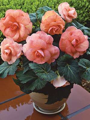 Begonia Roseform Peach