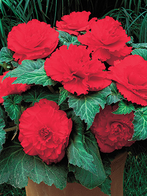 Begonia Ruffled Red