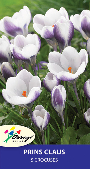 Crocus Prins Claus, pack of 5