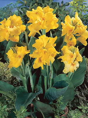 Canna Tropical Yellow, pack of 1