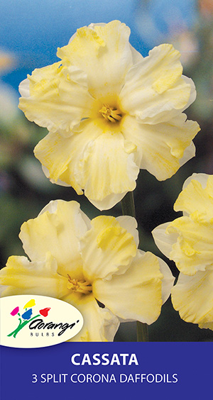 Daffodil Cassata, pack of 3
