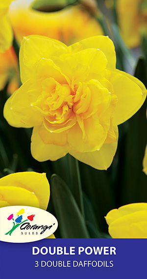 Daffodil Double Power, pack of 3