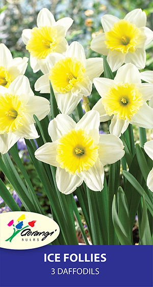 Daffodil Ice Follies - Pack of 3
