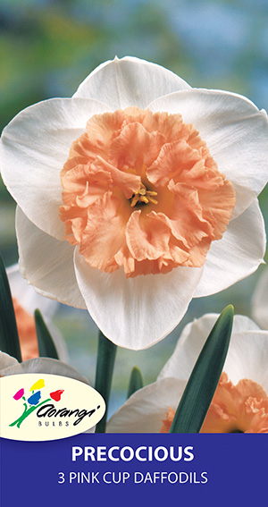 Daffodil Precocious, pack of 3