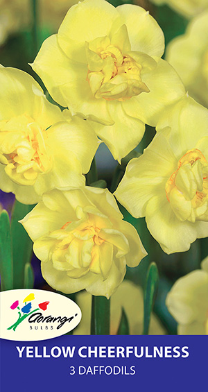 Daffodil Yellow Cheerfulness - Pack of 3