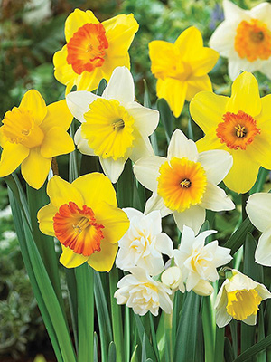 Daffodil Naturalising Mixed