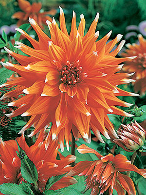 Dahlia Colour Spectacle, pack of 1