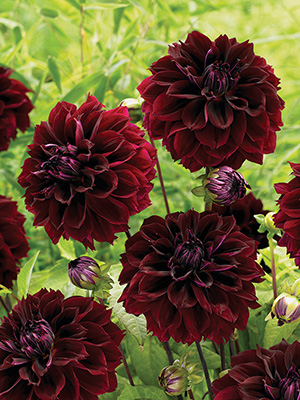Dahlia Dark Fubuki, pack of 1