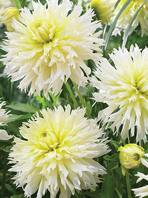 Dahlia Ice Crystal, pack of 1