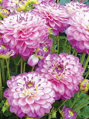 Dahlia Melody Dixie, pack of 1