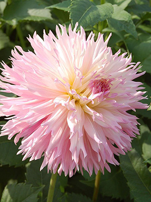 Dahlia Nadia Ruth, pack of 1