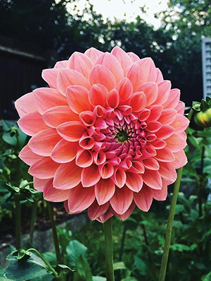 Dahlia Nathalie G, pack of 1