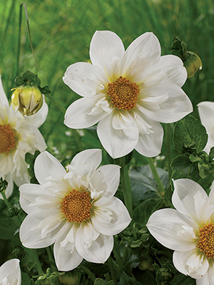 Dahlia Twynings White Chocolate, pack of 1