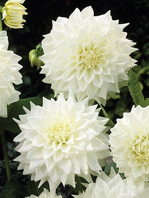 Dahlia White Perfection, pack of 1