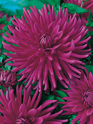 Dahlia Worton Bluestreak, pack of 1