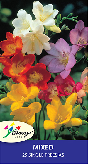 Freesia Single Mixed, pack of 25, size 4/5