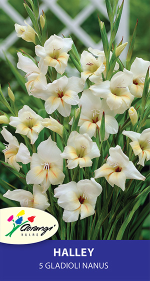 Gladioli Nanus Halley, pack of 5