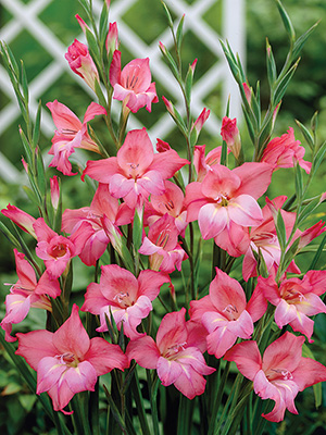 Gladioli Nanus Charming Beauty