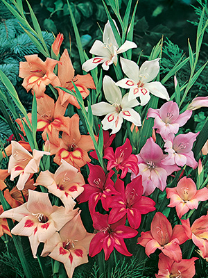Gladioli Nanus Mixture