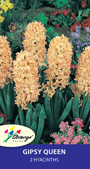 Hyacinth Gipsy Queen, pack of 2