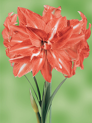 Hippeastrum Andes, pack of 1