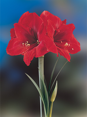 Hippeastrum Basuto, pack of 1