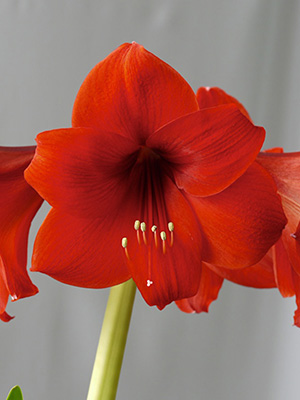 Hippeastrum Bold Leader, pack of 1