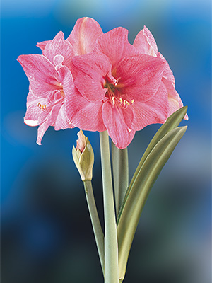 Hippeastrum Milady, pack of 1
