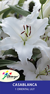 Oriental Lily Casablanca, pack of 1