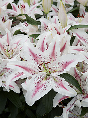Oriental Lily Lovely Day, pack of 1
