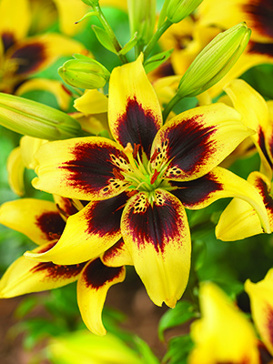 Asiatic Lily Pieton, pack of 1