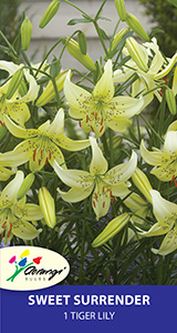 Tiger Lily Sweet Surrender, pack of 1