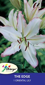 Oriental Lily The Edge, pack of 1