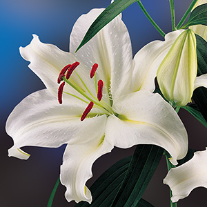 Oriental Lily Universe