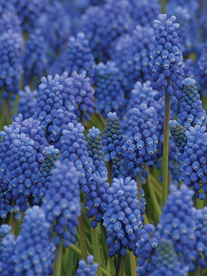 Muscari Early Giant
