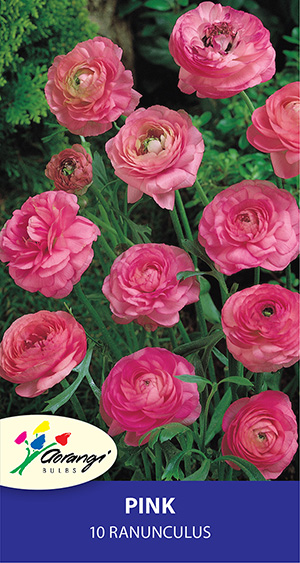 Ranunculus Pink - Pack of 10